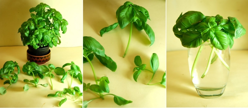 Sprout basil