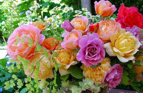 Variety of roses