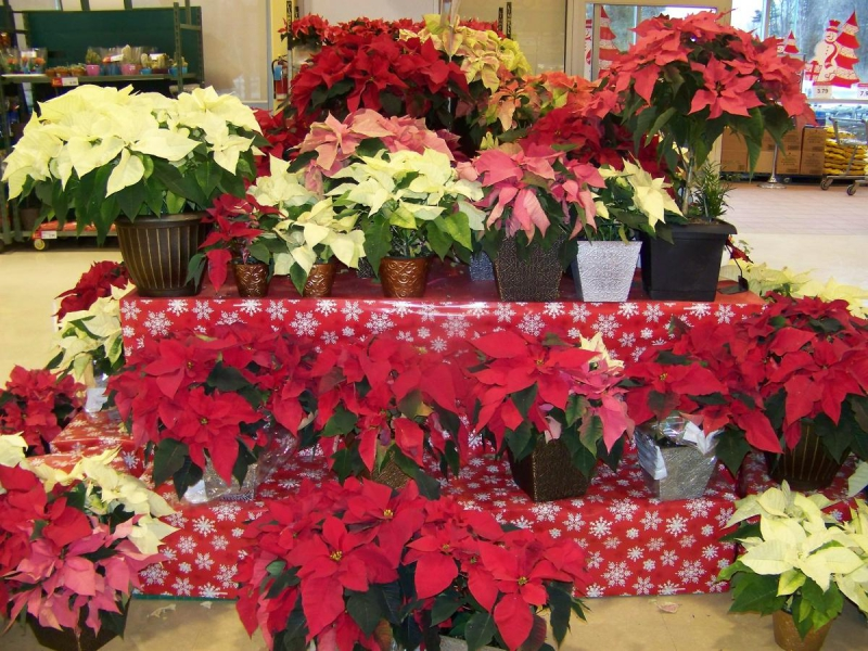 Poinsettia in the store