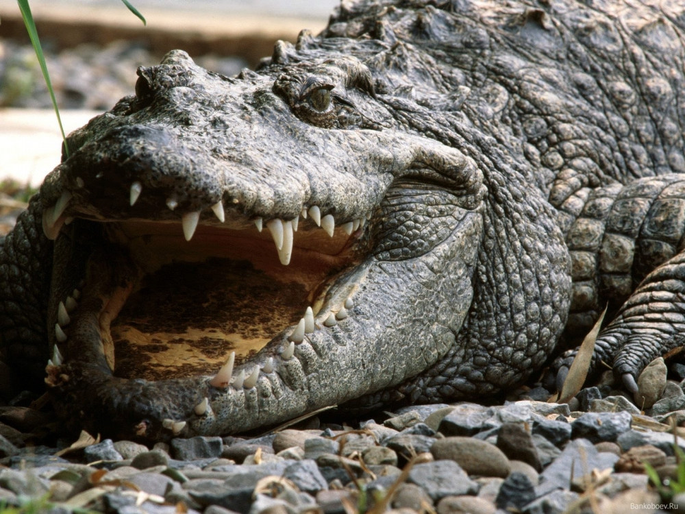Crocodile on the shore