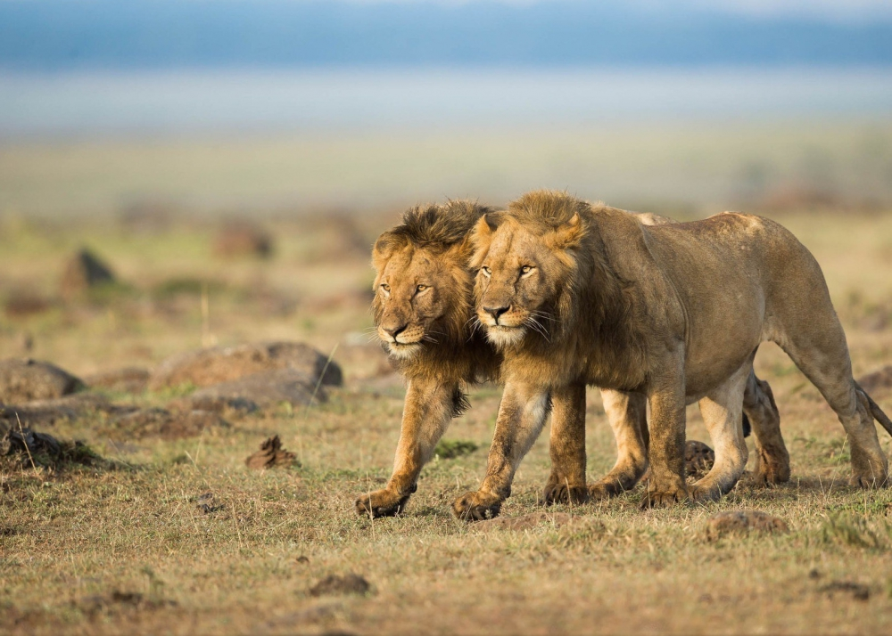 Two lions in the savannah