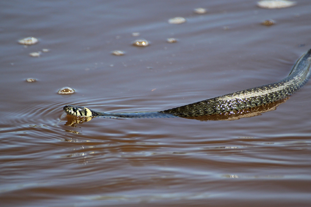 Snake in the water