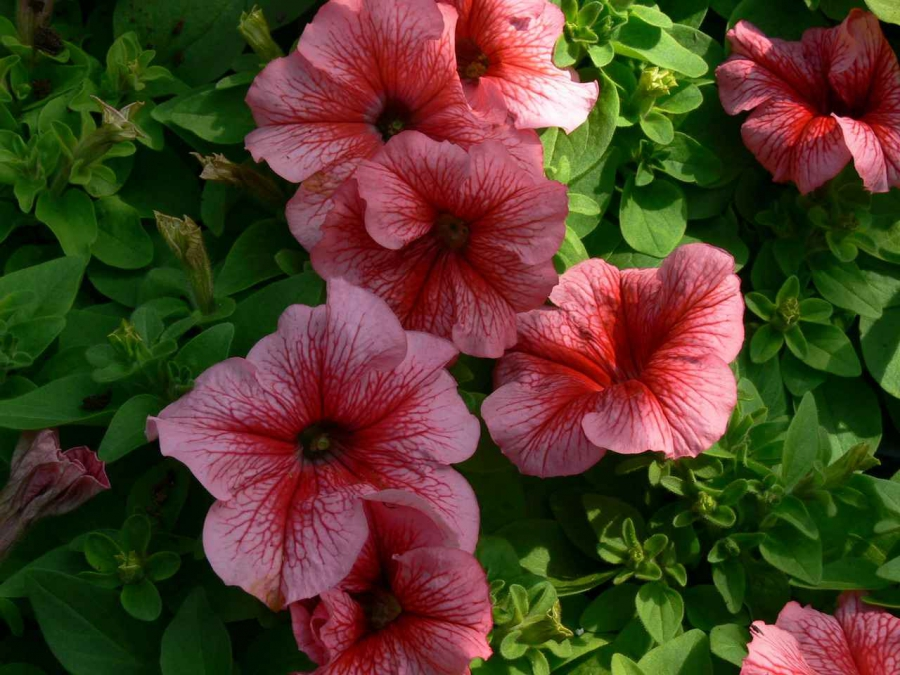 Petunia red with veins