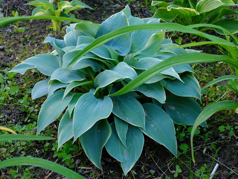 Hosta with blue leaves
