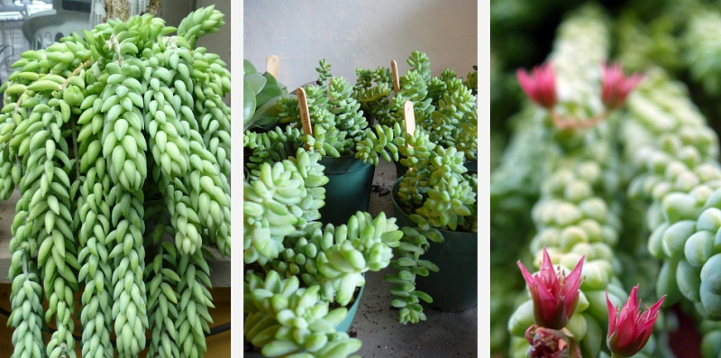 Morgan's Sedum bloom