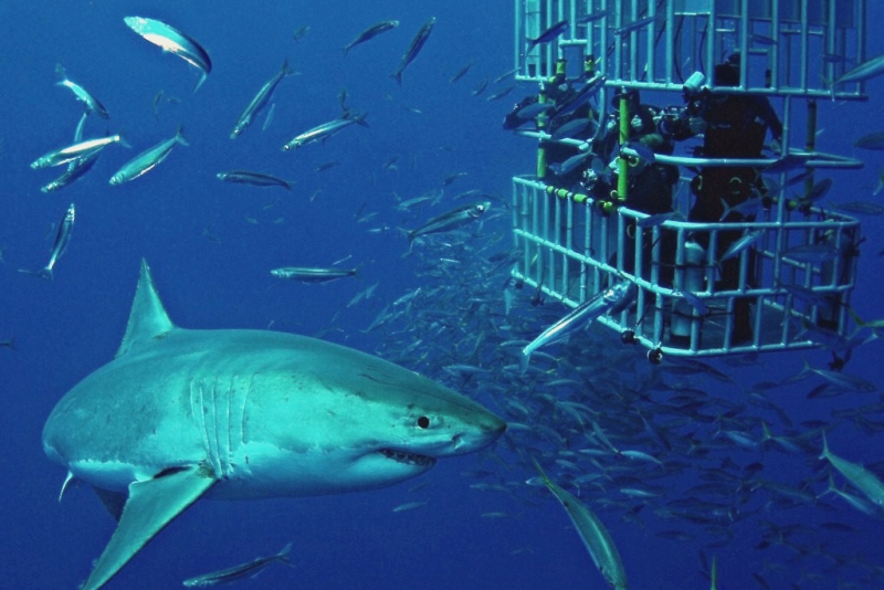Shark in the cage