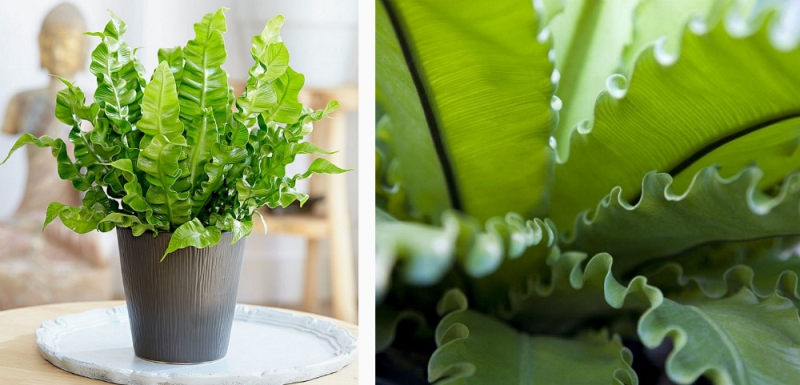 Asplenium in a pot