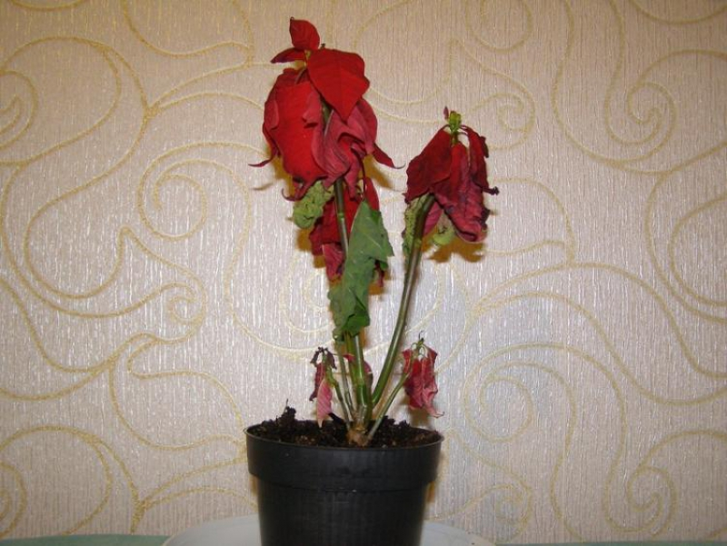 Faded poinsettia