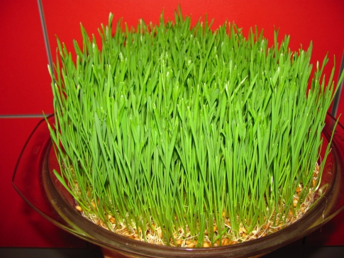 How to germinate grain