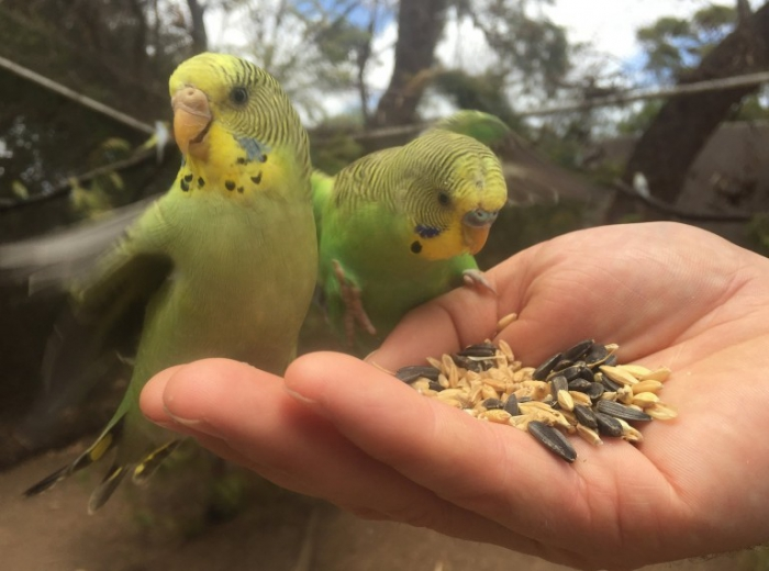 Feeding parrots with hands