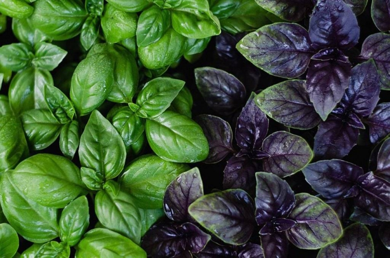 How to plant basil at home